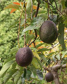 Photo of a ripe avocado